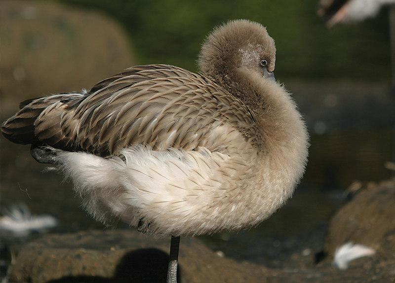 Flamingos Are Born With Grey Fur?