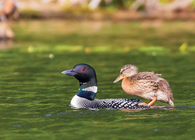 Loons Adopt a Duckling0