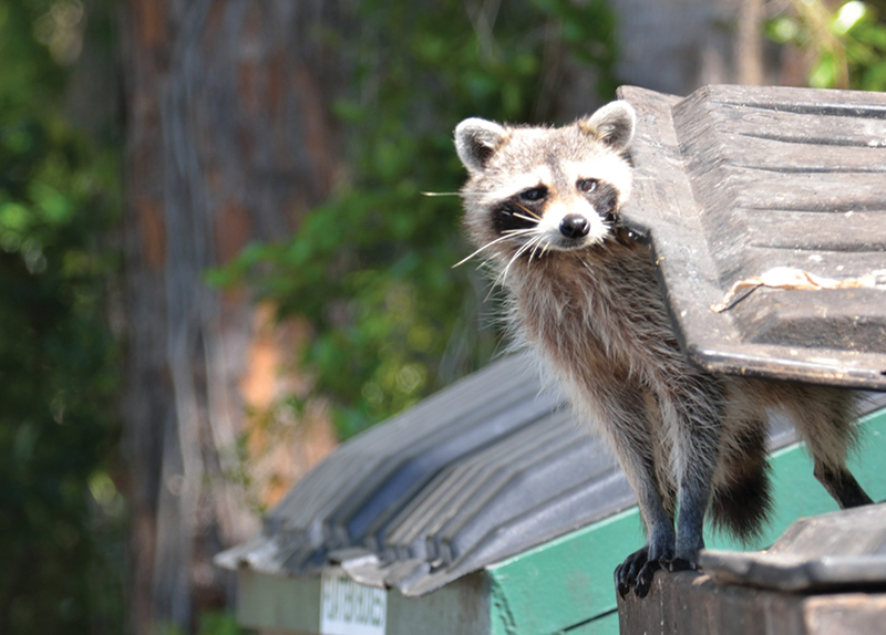 Raccoons Endangering the Ecosystem0