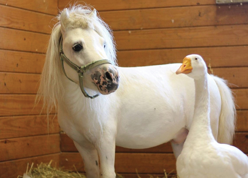 A Horse and Goose's Friendship0