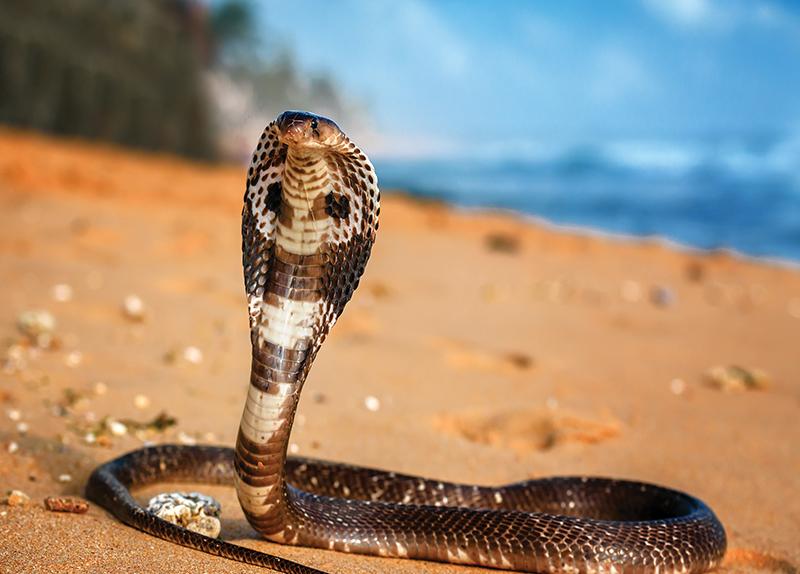 King Cobras' Hoods0