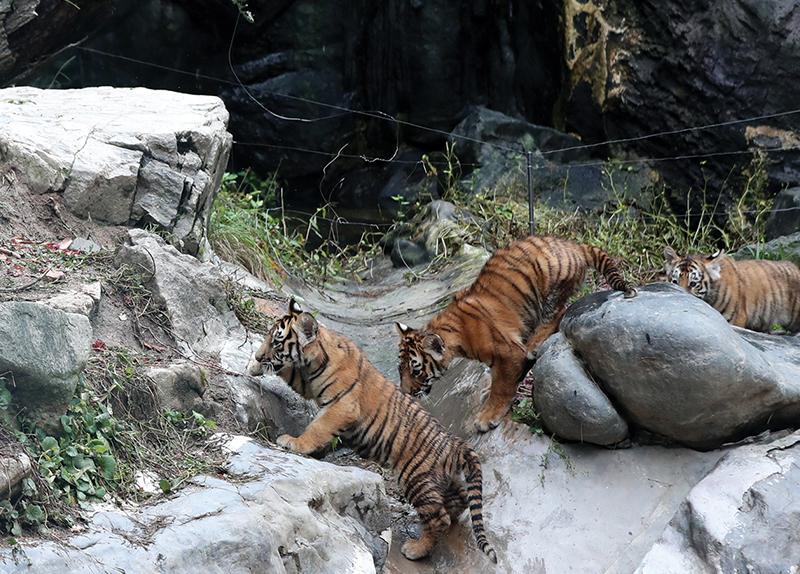 Everland Unveils Rare Quintuplet Tiger Cubs0
