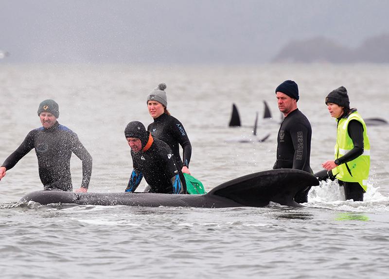 500 Whales Stranded in Australia