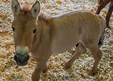 Endangered Horse Successfully Cloned - World News I