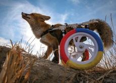 A Fox With a Walking Wheelchair - Photo News