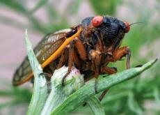 Billions of Cicadas Emerge on the East Coast - Science