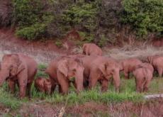 A Herd of Wandering Elephants Captivates Millions in China - Headline News