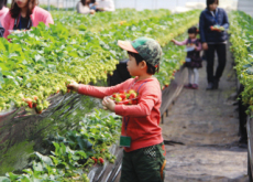 Nonsan And Yangpyeong Strawberry Festivals - In Spotlight