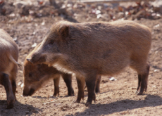 No More Wild Boars? - National News II