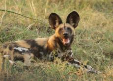 Wild Dogs In Botswana Communicate Through Sneezing - Science