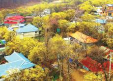 Gurye Sansuyu Festival - In Spotlight
