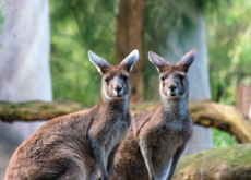 Kangaroos Are Attacking Tourists In Australia - World News II