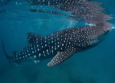 Whale Shark Festival - In Spotlight