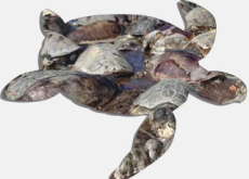 Another Group Of Sea Turtles Found Dead - World News II