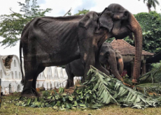 Elephant Abuse in Sri Lanka - World News II