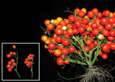 Genetically Modified Tomatoes Show the Future of Farming - Science