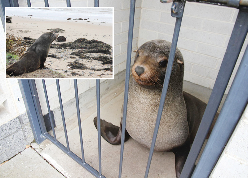 Slumbering Seal