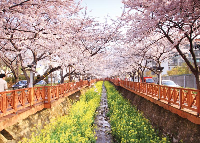 Cherry Blossom Festivals In Spring0