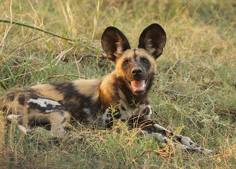 Wild Dogs In Botswana Communicate Through Sneezing