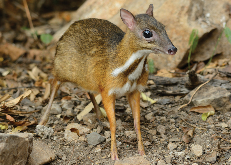Mouse-Deer Spotted in Vietnam