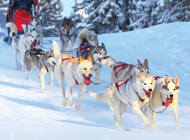 Iditarod Sled Dog Race - Culture & Trend