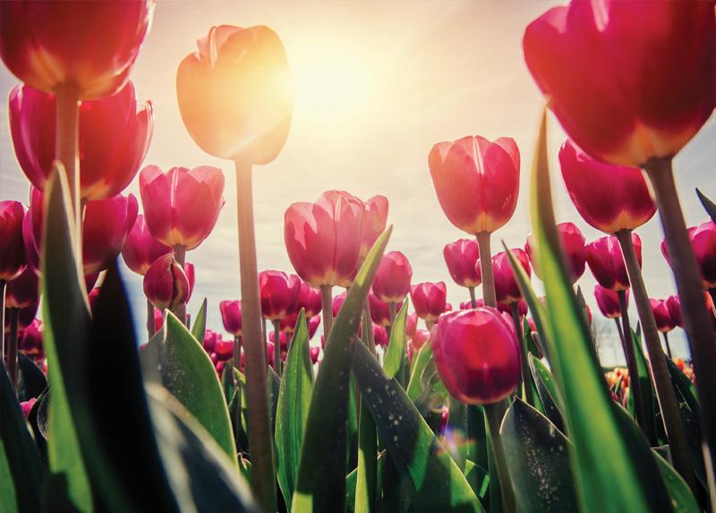The Tulip Festival - In Spotlight
