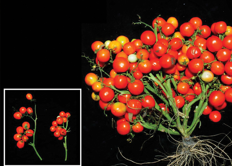 Genetically Modified Tomatoes Show the Future of Farming - World on the Move